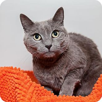 Russian Blue/Domestic Shorthair Mix Cat for adoption in Mission Hills, California - Blue