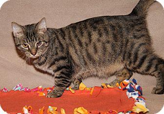 Domestic Shorthair Cat for adoption in Marietta, Ohio - Sammy (Neutered) - New Photos