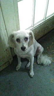 Poodle (Miniature)/Chinese Crested Mix Dog for adoption in Inverness, Florida - Mickey
