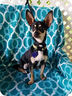 Chihuahua Mix Dog for adoption in San Antonio, Texas - Rodeo