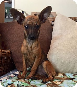 Chihuahua/Rat Terrier Mix Puppy for adoption in Santa Ana, California - Felicity (BH)