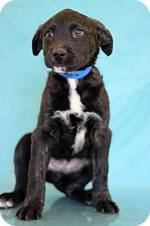 Border Collie Mix Puppy for adoption in Waldorf, Maryland - Foxglove