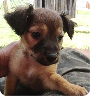 Dachshund/Chihuahua Mix Puppy for adoption in Ozark, Alabama - Giselle