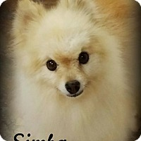 Adopt A Pet :: Simba - Anaheim Hills, CA