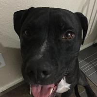 Pit Bull Terrier Mix Dog for adoption in Chandler, Arizona - DAMON