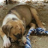 Adopt A Pet :: Clyde - Moyock, NC
