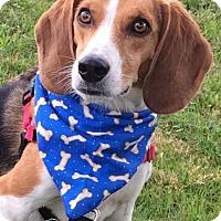 Beagle Dog for adoption in Methuen, Massachusetts - SCOUT