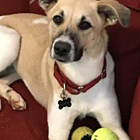 Shepherd (Unknown Type)/Collie Mix Dog for adoption in Halethorpe, Maryland - Lexi - ON HOLD - NO MORE APPLICATIONS