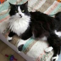 Adopt A Pet :: Sneaky (FELV +) - Mesa, AZ
