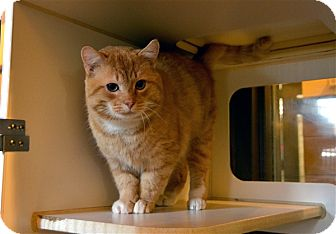 Domestic Shorthair Cat for adoption in Versailles, Kentucky - Louie