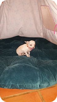 Chihuahua Dog for adoption in La Verne, California - Chickadee