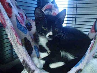 Domestic Mediumhair Kitten for adoption in Rancho Cucamonga, California - GILBERTO