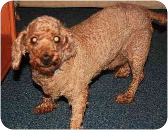 Dachshund/Poodle (Miniature) Mix Dog for adoption in Homer, New York - Emmy