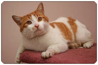 Domestic Shorthair Cat for adoption in Sterling Heights, Michigan - Kirby - ADOPTED!
