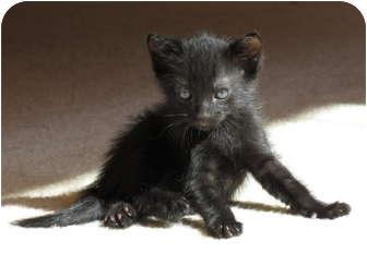 Domestic Shorthair Kitten for adoption in La Jolla, California - Pernod