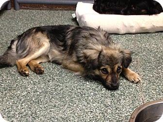 Pekingese/Spaniel (Unknown Type) Mix Dog for adoption in Simi Valley, California - Jalapeno