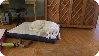 Great Pyrenees Dog for adoption in Lee, Massachusetts - Ethel