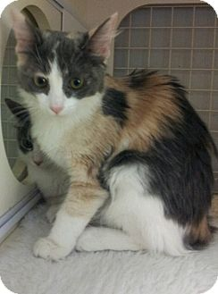 Domestic Mediumhair Kitten for adoption in Chandler, Arizona - Pepper