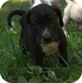 German Shorthaired Pointer/Hound (Unknown Type) Mix Puppy for adoption in Portland, Maine - Ebony, Jr.
