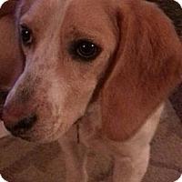 Adopt A Pet :: Littlefoot - Seattle, WA