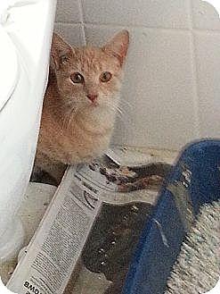 Domestic Shorthair Kitten for adoption in Cranford/Rartian, New Jersey - Georgie