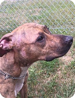 Pit Bull Terrier Mix Dog for adoption in Ledyard, Connecticut - Lucy