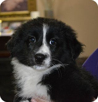Border Collie Mix Puppy for adoption in Mt Sterling, Kentucky - Belle