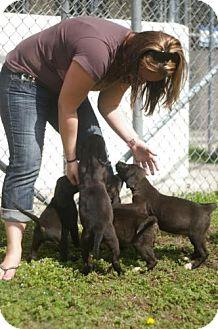 Labrador Retriever Mix Puppy for adoption in Tyner, North Carolina - Lab mix puppies