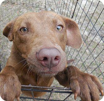Hound (Unknown Type)/Labrador Retriever Mix Puppy for adoption in Old Town, Florida - Mandy