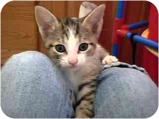 Domestic Shorthair Kitten for adoption in Tracy, California - Moises-PENDING