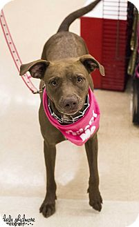 Labrador Retriever Mix Dog for adoption in Charlotte, North Carolina - Jessie