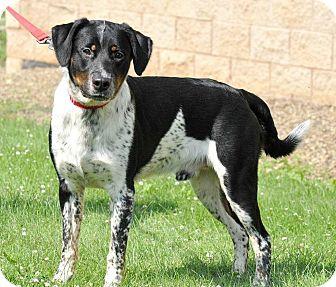 Australian Cattle Dog/Labrador Retriever Mix Dog for adoption in Lisbon, Ohio - Jager