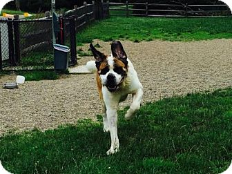 St. Bernard Dog for adoption in Pittsburgh, Pennsylvania - Brutus