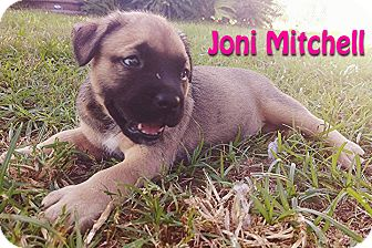 Shepherd (Unknown Type)/American Bulldog Mix Puppy for adoption in Houston, Texas - Joni Mitchell