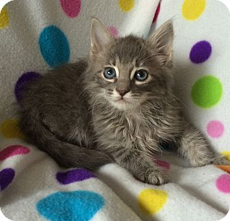 Maine Coon Kitten for adoption in Tampa, Florida - Kevin