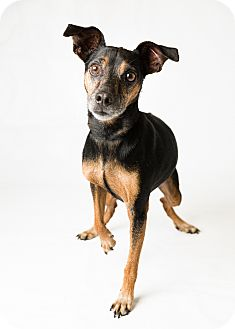 Miniature Pinscher Mix Dog for adoption in Hendersonville, North Carolina - Lucky