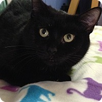 Domestic Shorthair Cat for adoption in Brattleboro, Vermont - Yvette