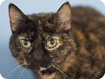 Domestic Shorthair Cat for adoption in LaGrange, Kentucky - Ollie