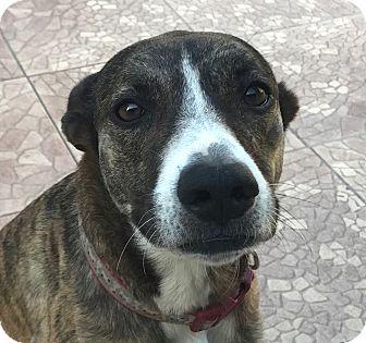 Greyhound/Terrier (Unknown Type, Medium) Mix Dog for adoption in Miami, Florida - Luna