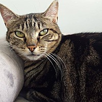 Domestic Mediumhair Cat for adoption in San Carlos, California - Toni