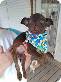 Labrador Retriever/Mixed Breed (Medium) Mix Puppy for adoption in Tiptonville, Tennessee - Lilly