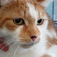 Adopt A Pet :: Oliver - Fall River, MA