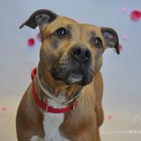 Adopt A Pet :: Blaire - Wantagh, NY