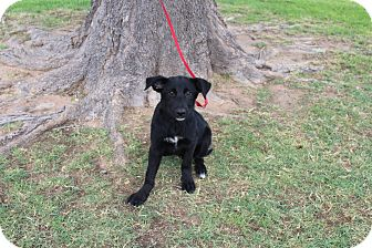 Labrador Retriever/Shepherd (Unknown Type) Mix Puppy for adoption in Odessa, Texas - A4 Bee Bee