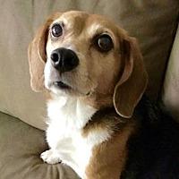 Adopt A Pet :: Darla *Adoption Pending* - Fairfax, VA