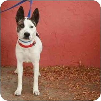 Australian Cattle Dog Mix Dog for adoption in Denver, Colorado - Liati