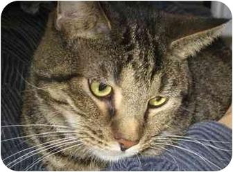 Domestic Shorthair Cat for adoption in Alden, Iowa - Bob