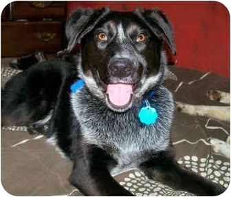 Australian Cattle Dog/Blue Heeler Mix Dog for adoption in Latrobe, Pennsylvania - Hailey