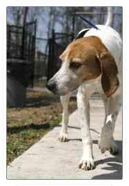Hound (Unknown Type) Mix Dog for adoption in North Charleston, South Carolina - Masey
