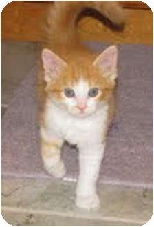 Domestic Mediumhair Kitten for adoption in Owatonna, Minnesota - Vinnie